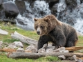 Ours-Yellowstone-K